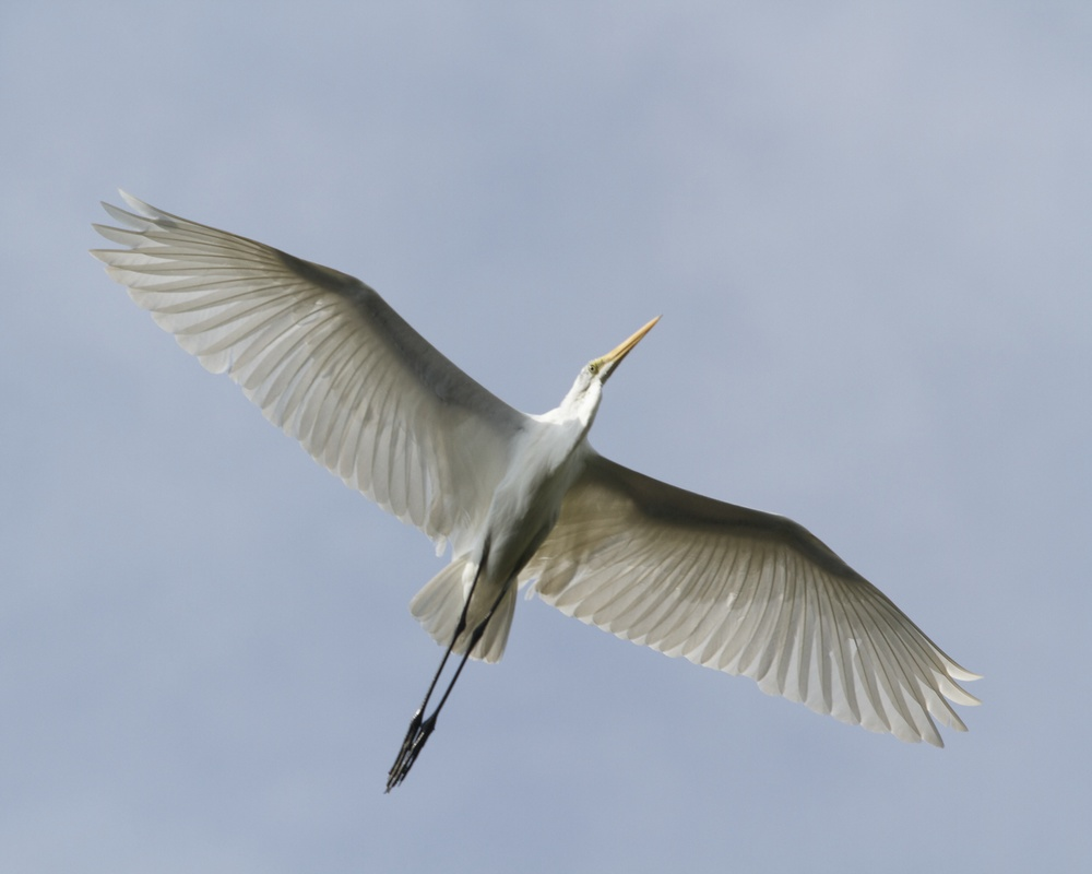 The Great Egret, the Bride of the Broward soars overhead.