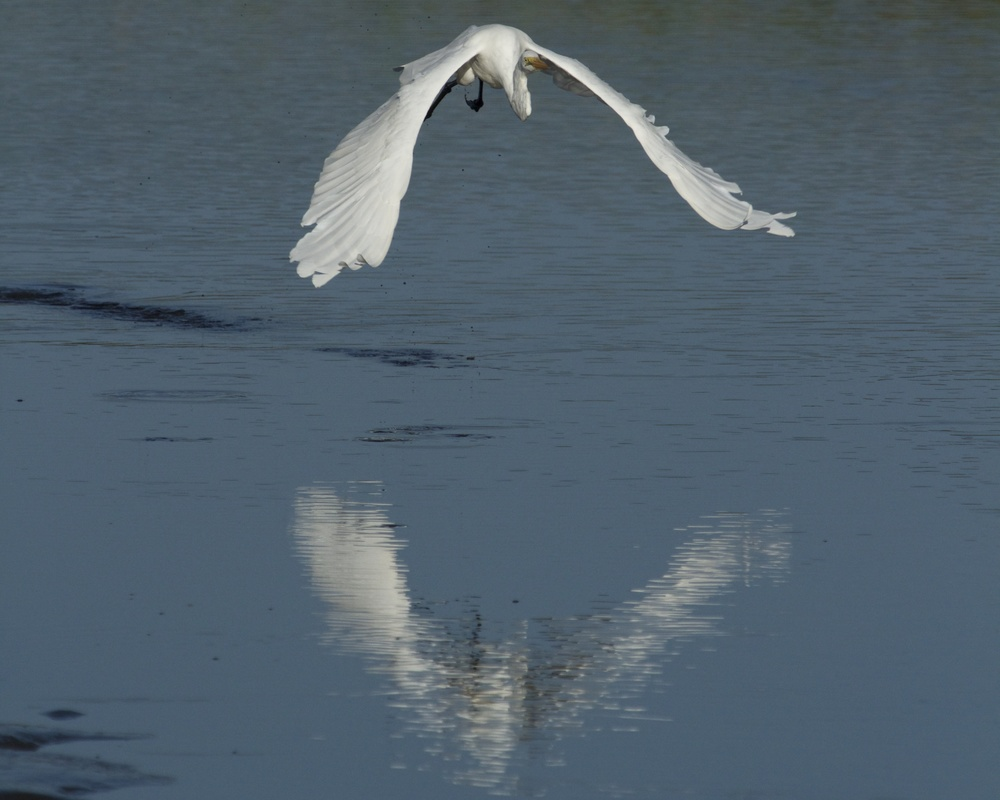 Graceful wings reflect in the water!