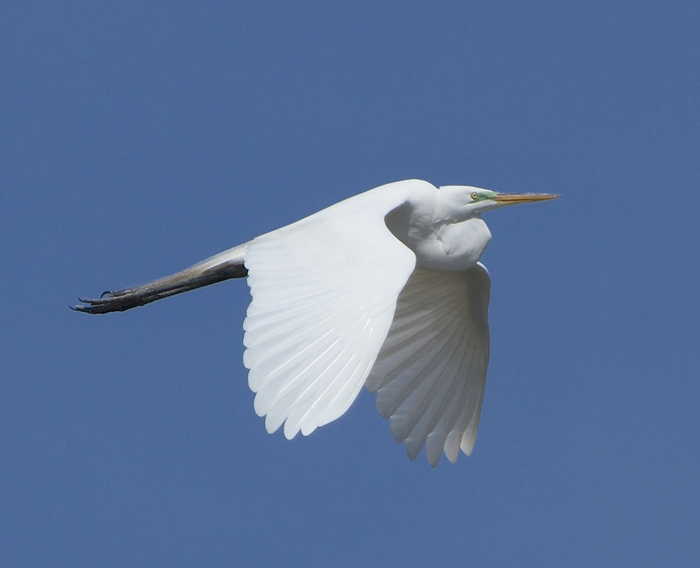 The Great Egret slowly and gracefully wings up the Broward. You can see them a mile away!