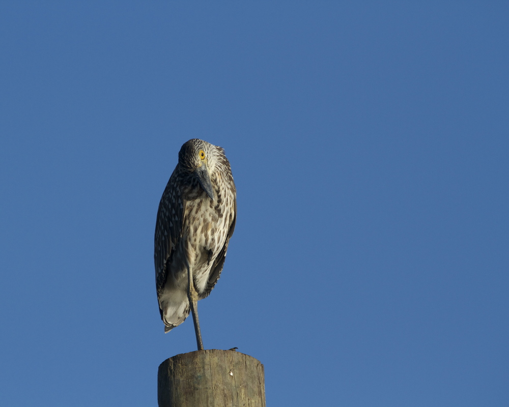 George Jr, a Yellow Crowned Night Heron in his juvenile brown and white feathering looks down on me.