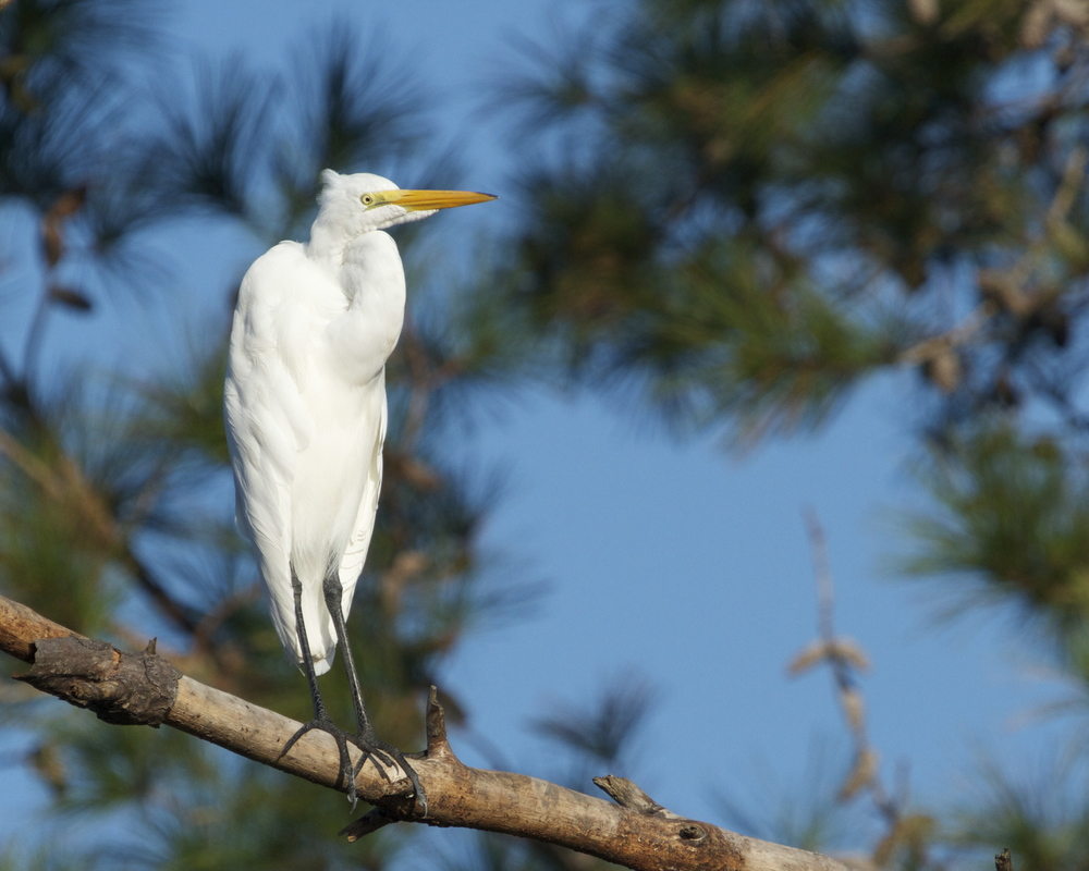 A nervous Great Egret out on a limb looks down on me.