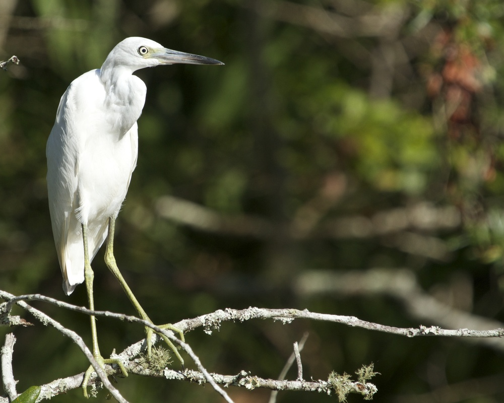 "The young Little Blue Heron just wants to look ""Different"" I suppose. Just like today's youth."