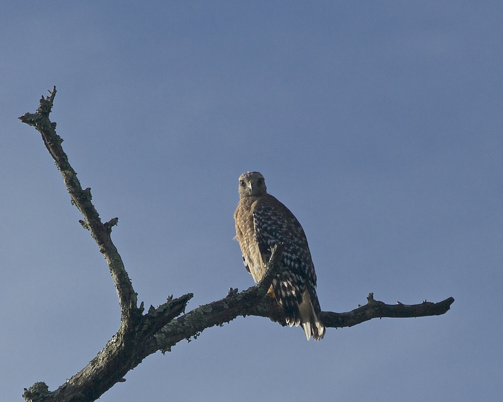 "You know, it is really not so bad up and out here on the limb. ""Look at the view!"" the Red Shouldered Hawk seems to say."