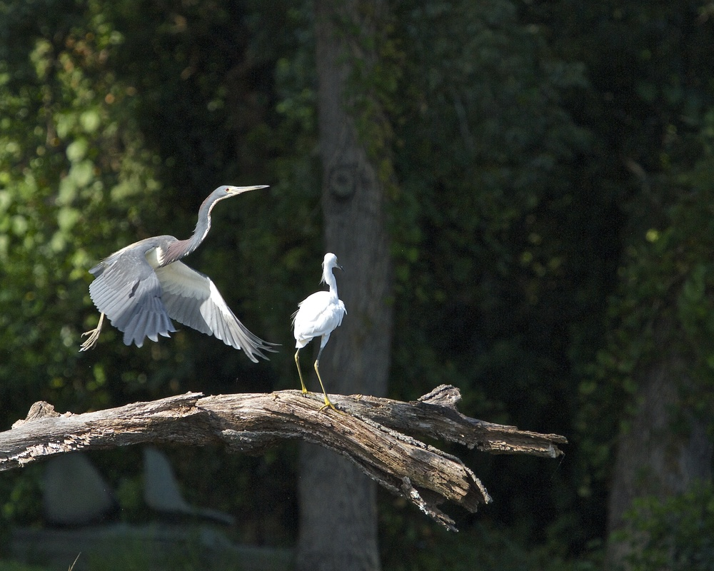 The Herons take flight again...