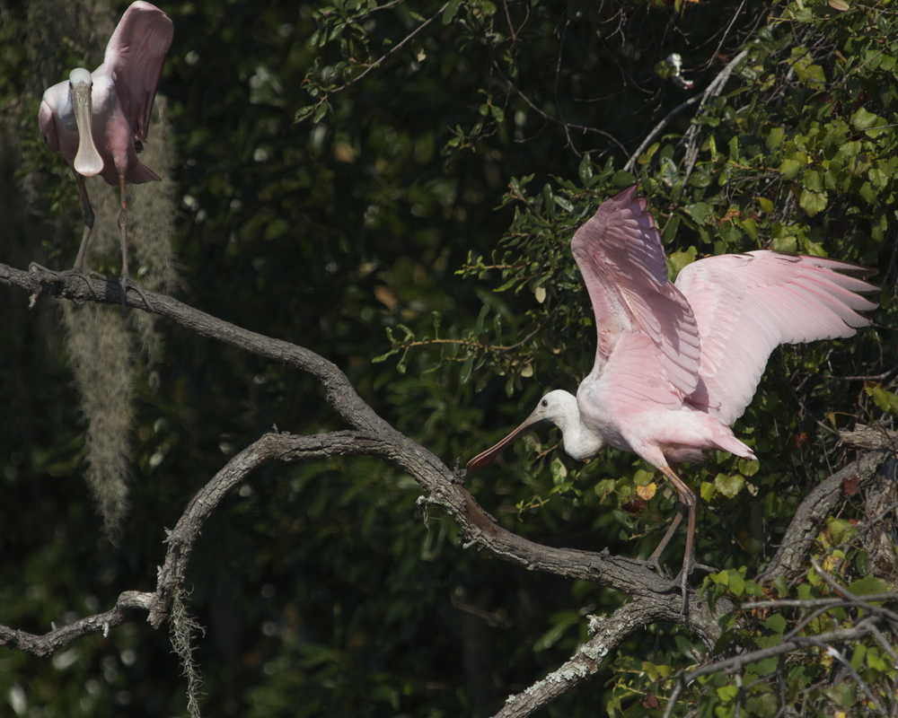 Finally the Roseate Spoonbills get nervous too! They hop over to the next tree.