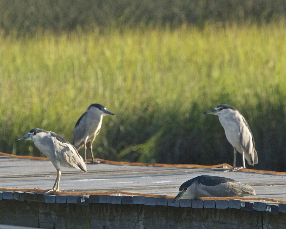 It's been a hard days night for the Night Herons.