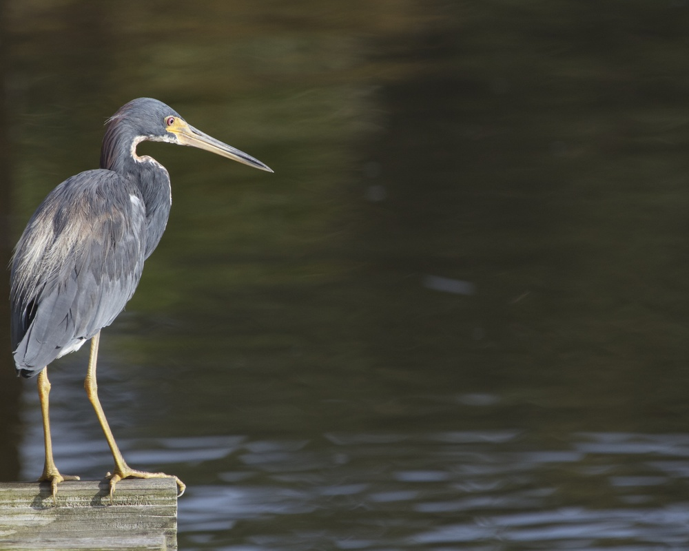 Tricolored Heron watches for signs of fish below. It took a water taxi to get here this morning I think.