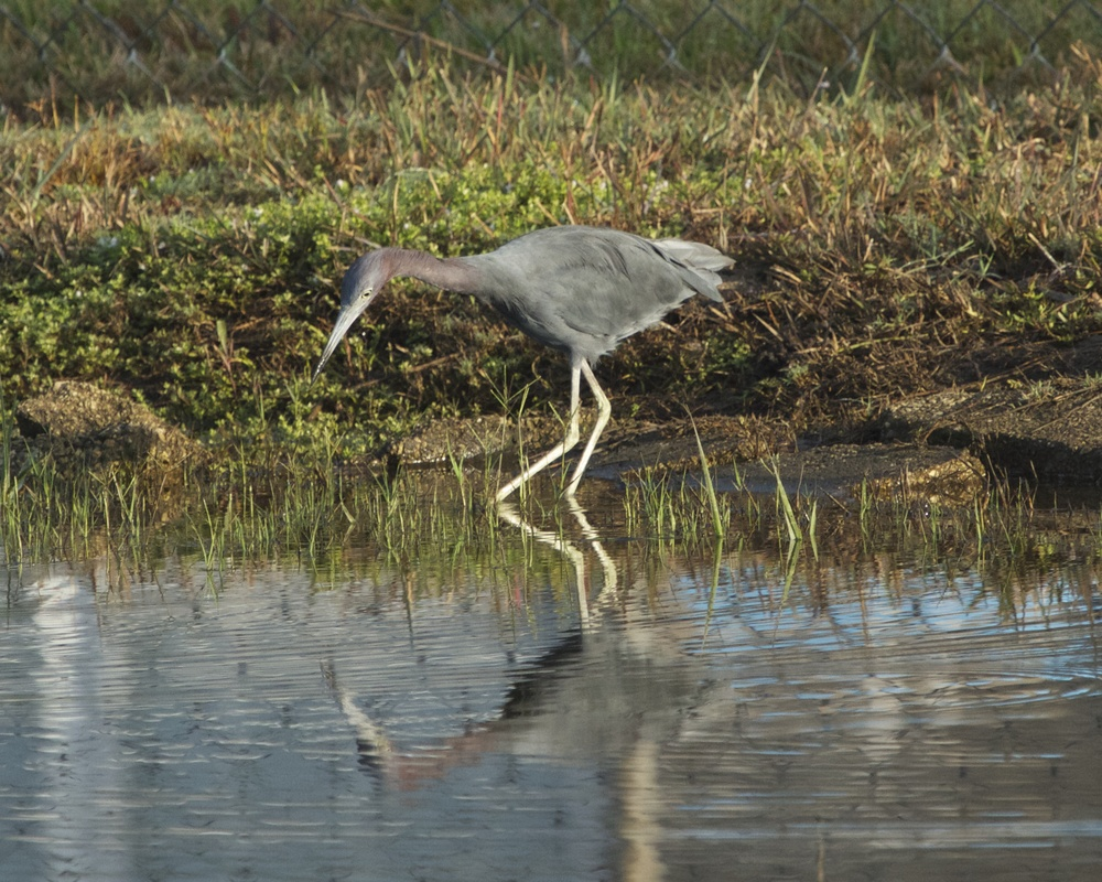 Little Blue Heron on the hunt.