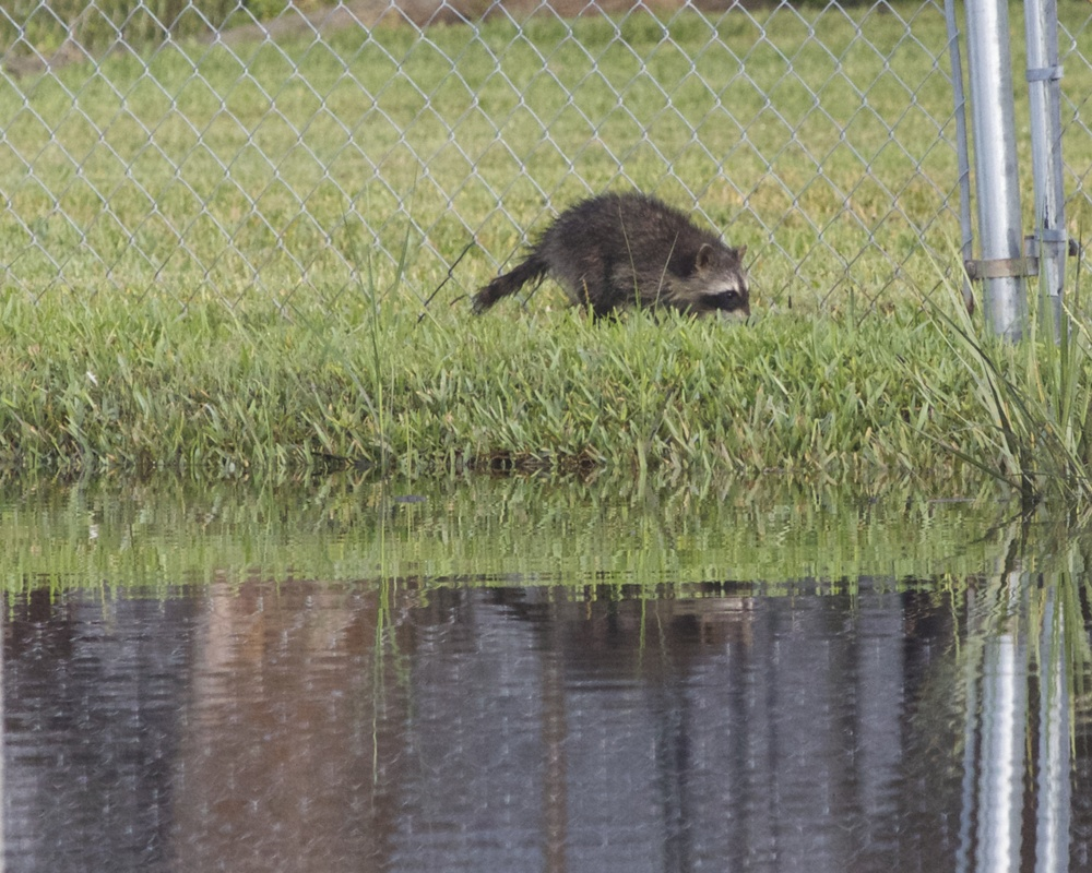 A soggy racoon heads for the bird feeders.