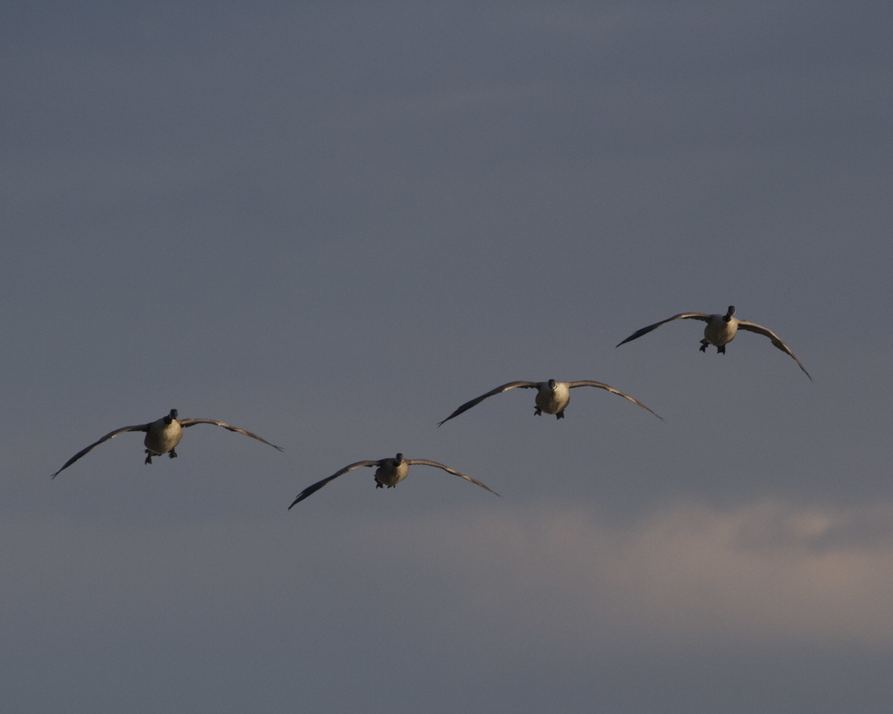 A flight of Canada Geese honk their arrival. International flights are arriving ok.