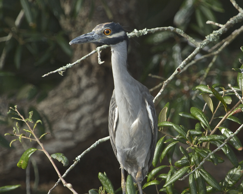 George the Yellow Crowned Night Heron and most of the Black Crowned Night Herons have left the Broward. Hope to see them back next year.