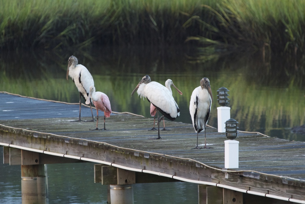 The Wood Storks and Roseate Spoonbills gather on the dock at low tide.