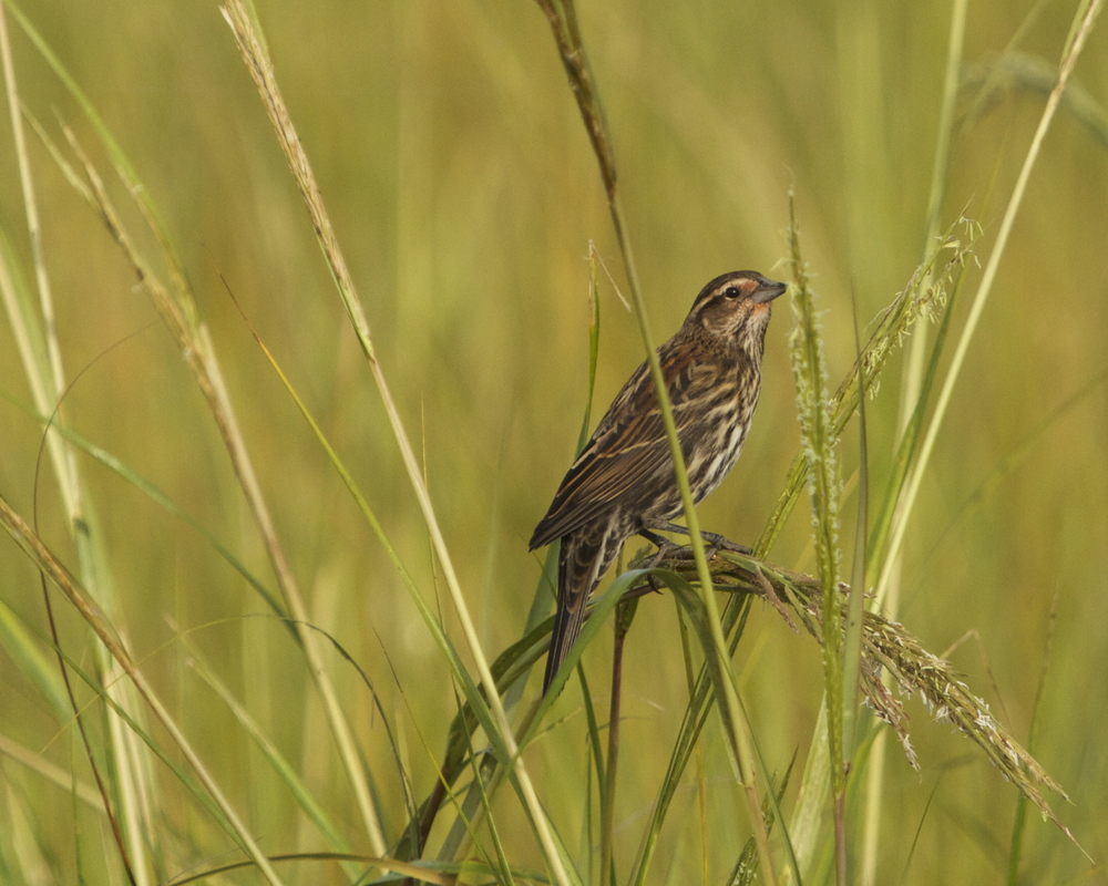 A female Red Winged Blackbird feeds on the marsh grass. Fall has arrived on the Broward.