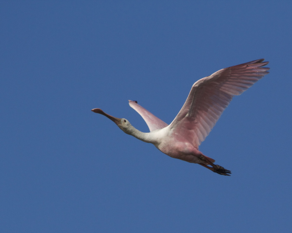Roseate Spoonbill fly by.   Soon they will leave the area also.