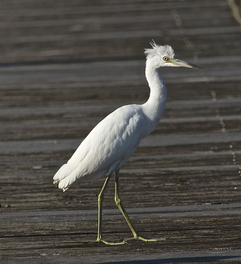 Juvenile Little Blue Heron (born all white).