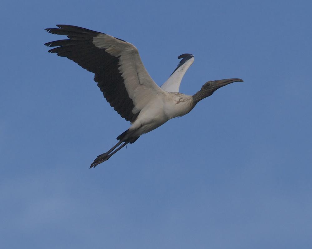 Wood Stork flyover.
