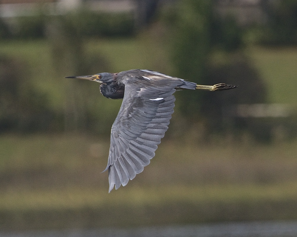 Tricolored Heron on wing goes by.