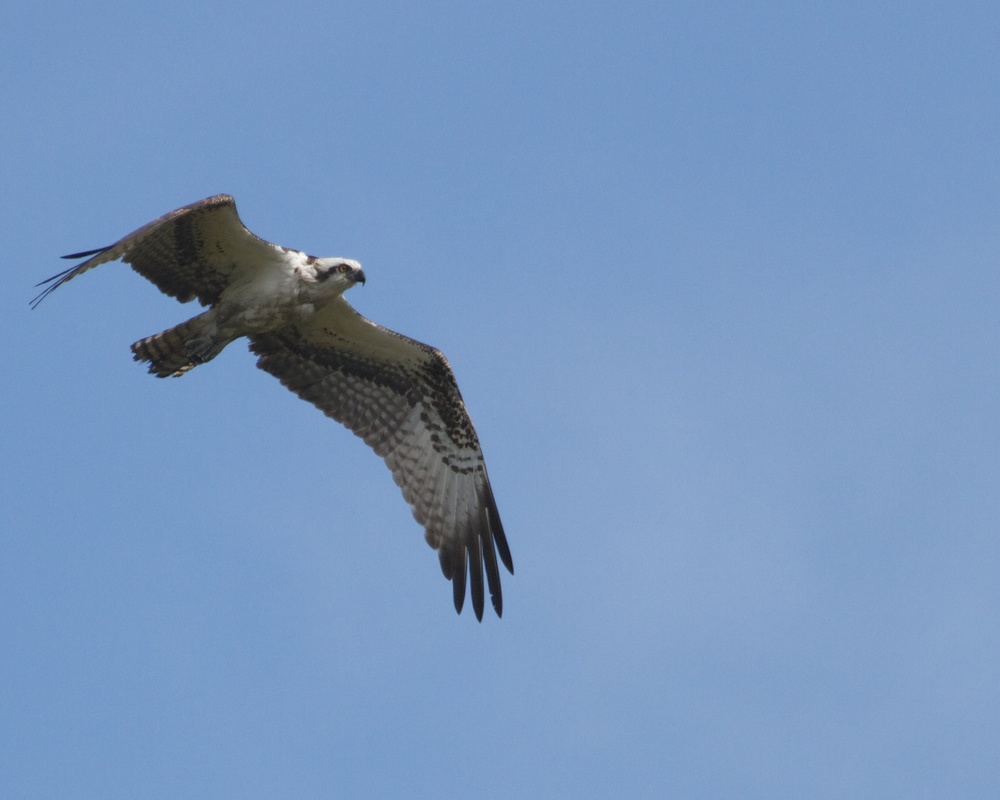 Osprey high overhead searches the Broward for breakfast.
