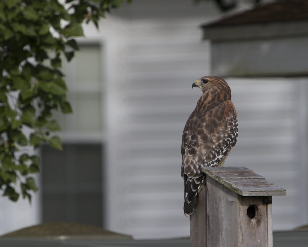 This house sure looked bigger on the internet photos. Red Shouldered Hawk inspects the yard.