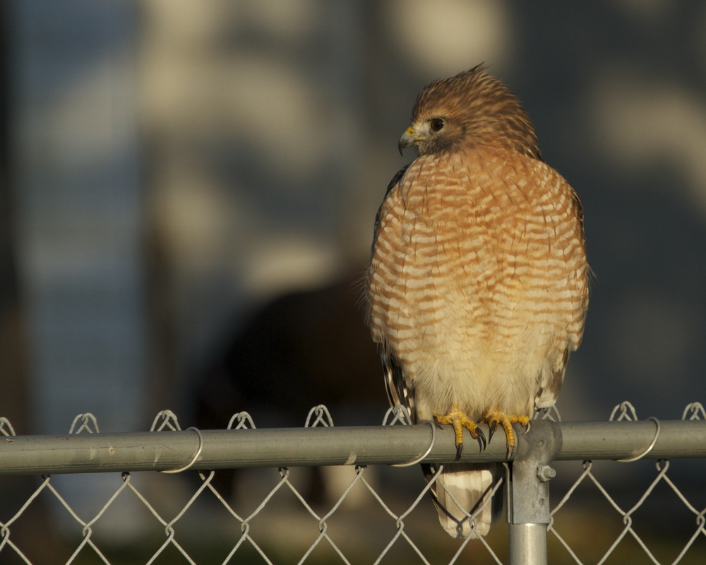 Front profile shot, Red Shouldered Hawk.