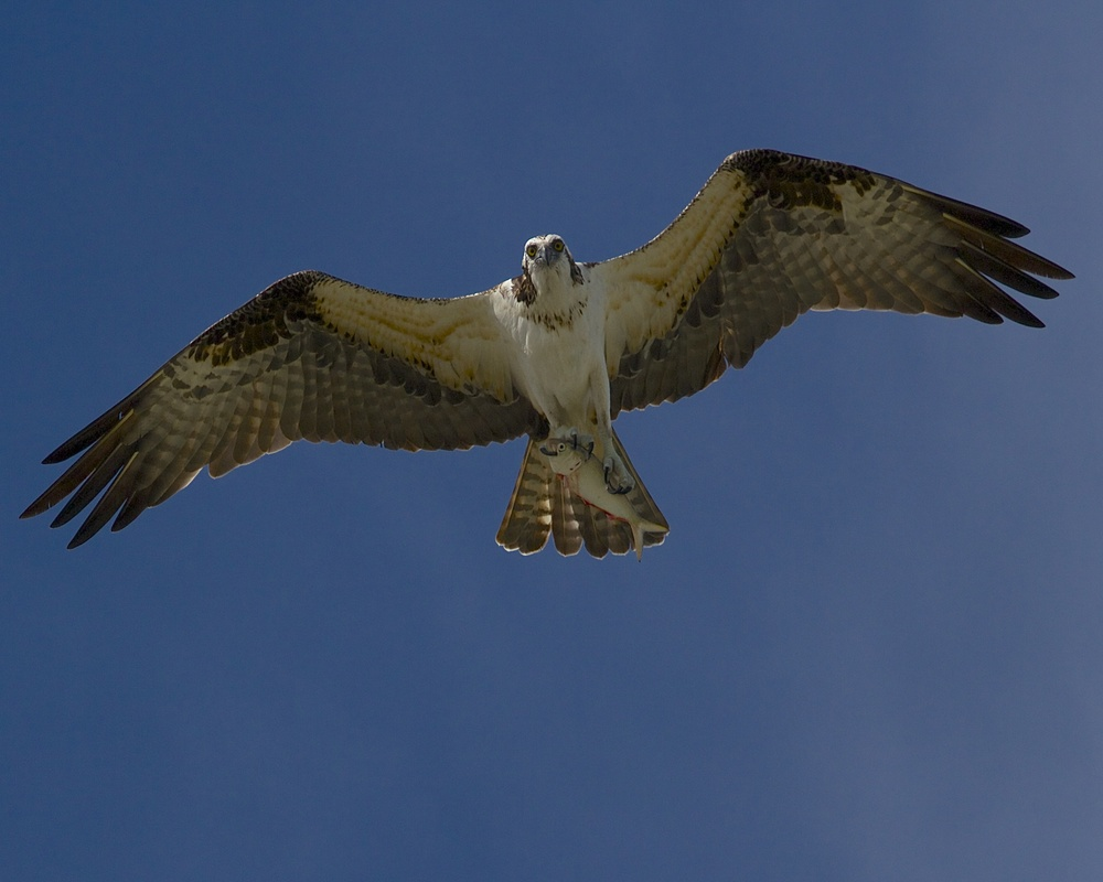Here is that fresh fish you ordered. Osprey with fresh catch.
