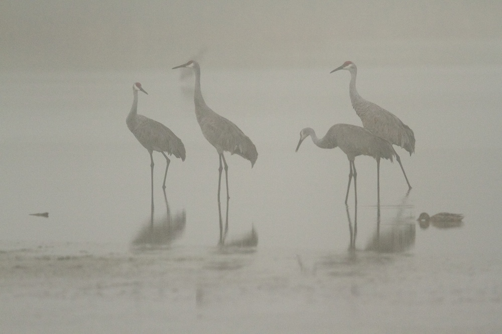 Pairs of Sandhill Cranes gather in the predawn fog preparing for liftoff.