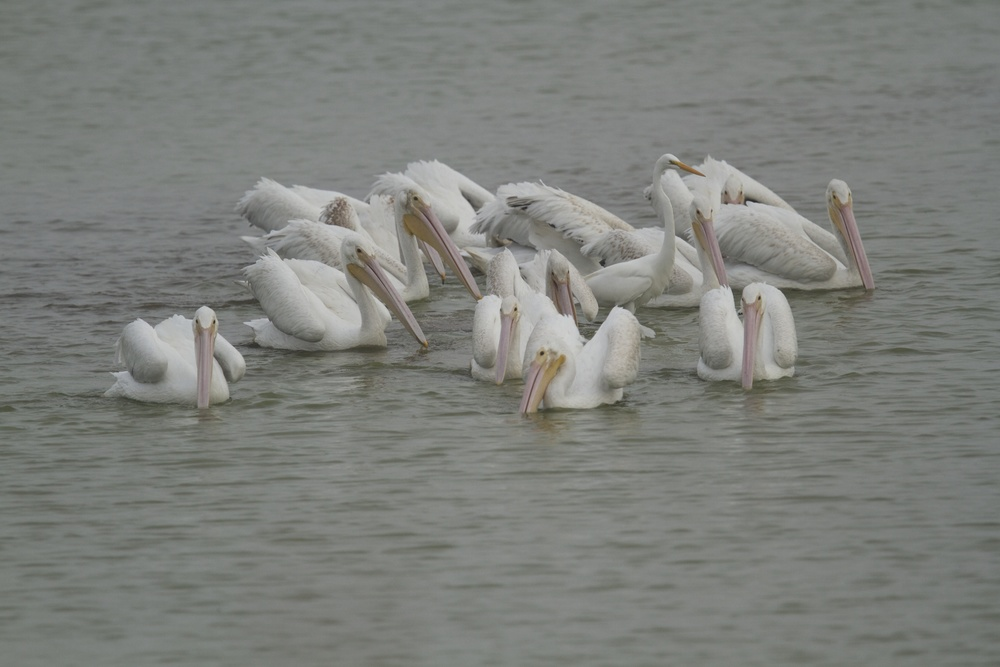 Can you spot the imposter White Pelican?