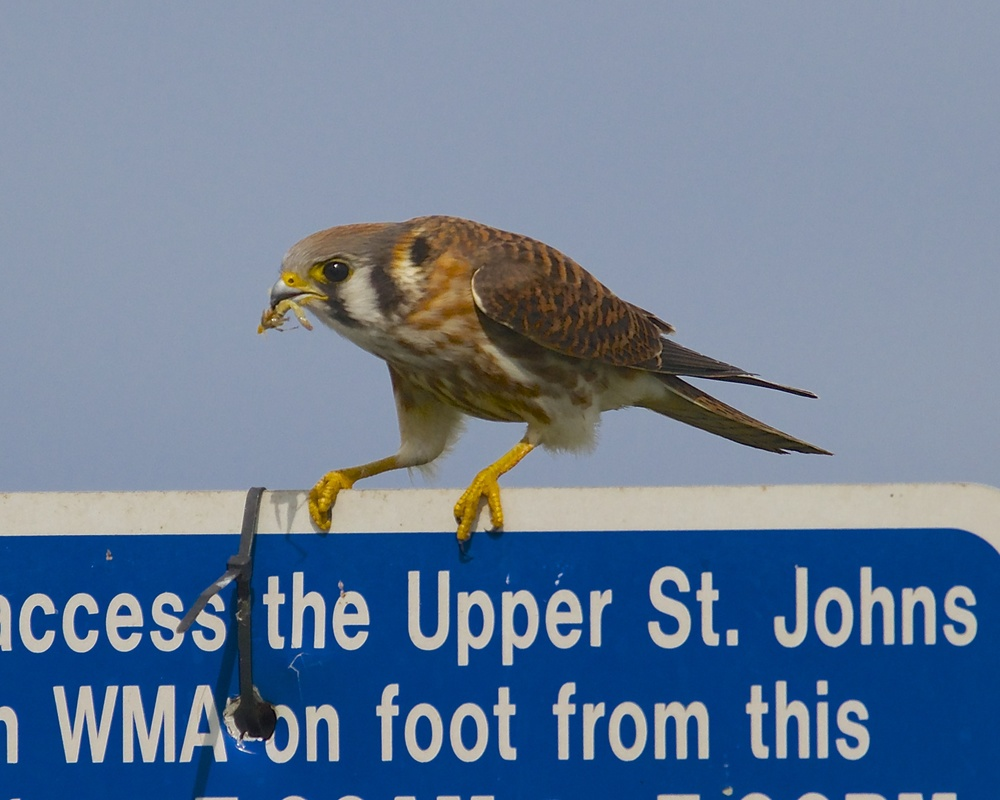 Snack time for a Kestrel.