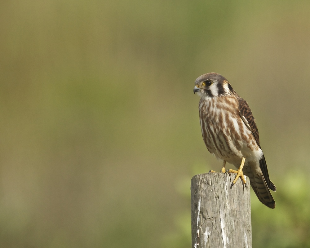 Female Kestrel scans the grass for more snacks.