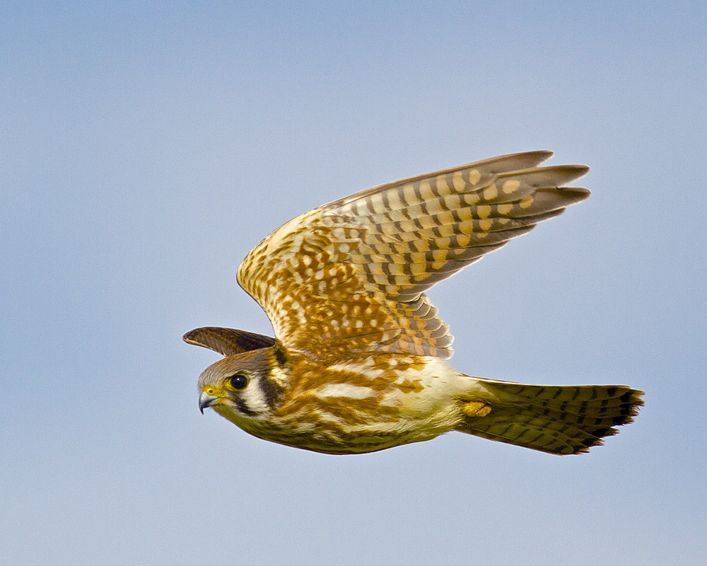Kestrel in flight, my best shot of the workshop.