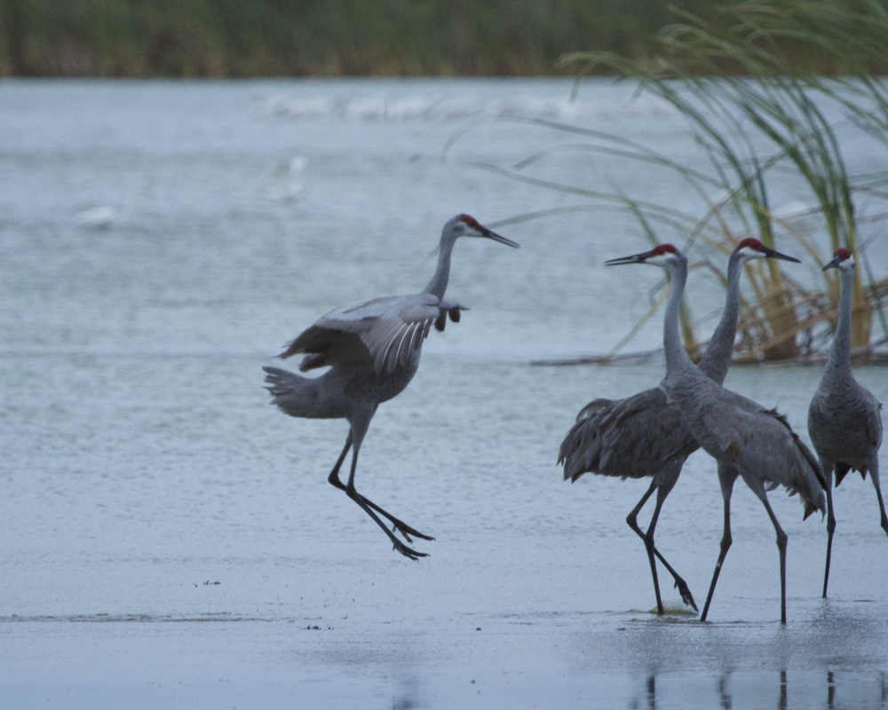 Sandhill Cranes jump with excitement as they anticipate the liftoff.