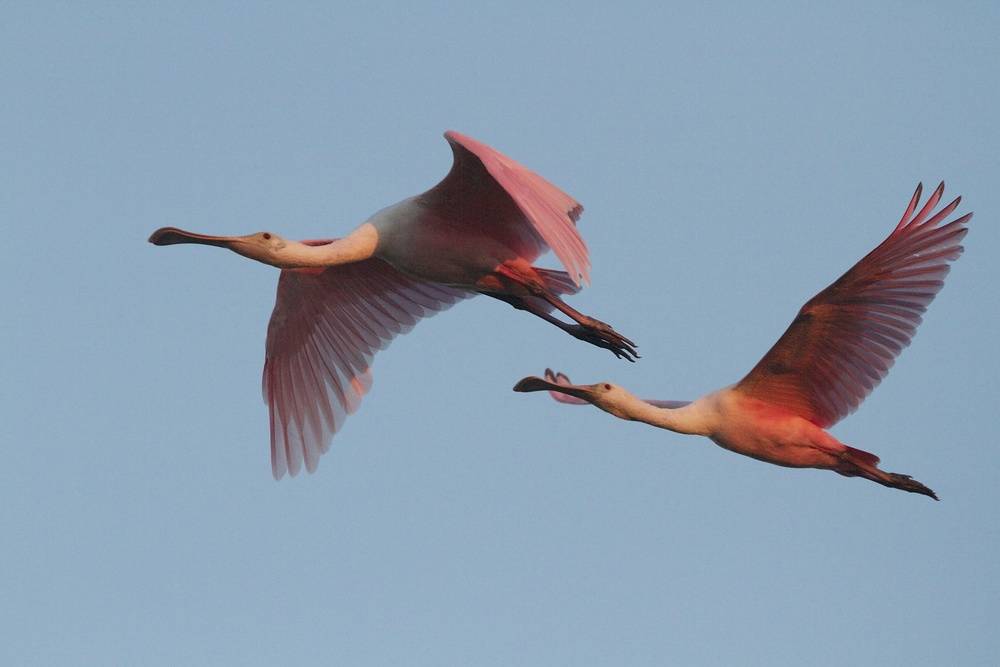 Roseate Spoonbills get even pinker in the red morning light.