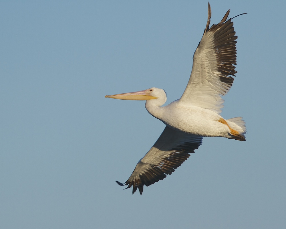 A White Pelican hops over the click pond ahead of me.
