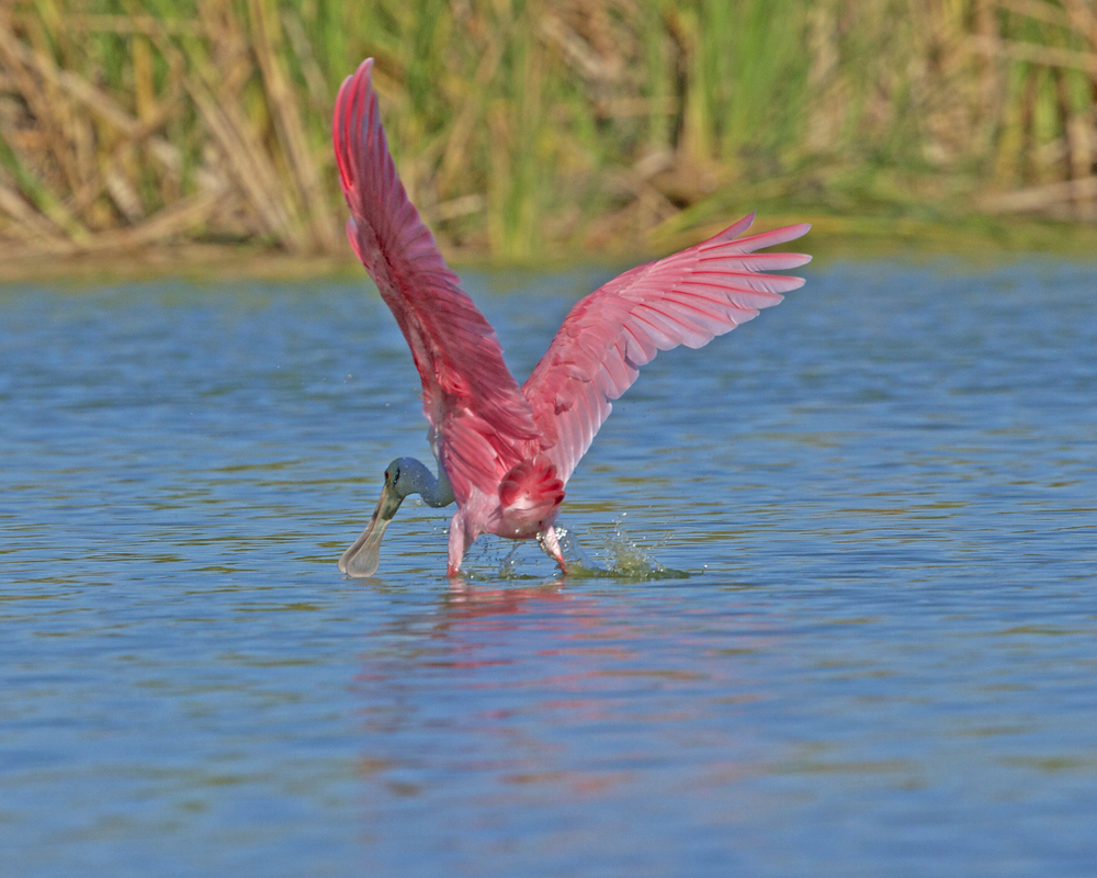 Roseate Spoonie shoots a moonie to a passing Raven!.