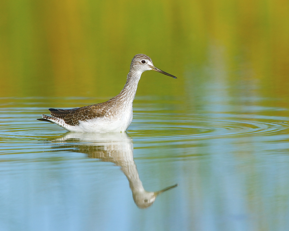 A Greater Yellowlegs reflects in the morning light.