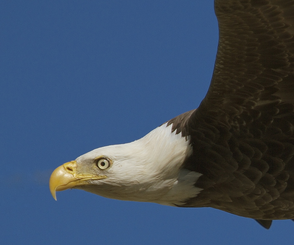 Ever look closely into the eye of an eagle? I did on this close fly by.