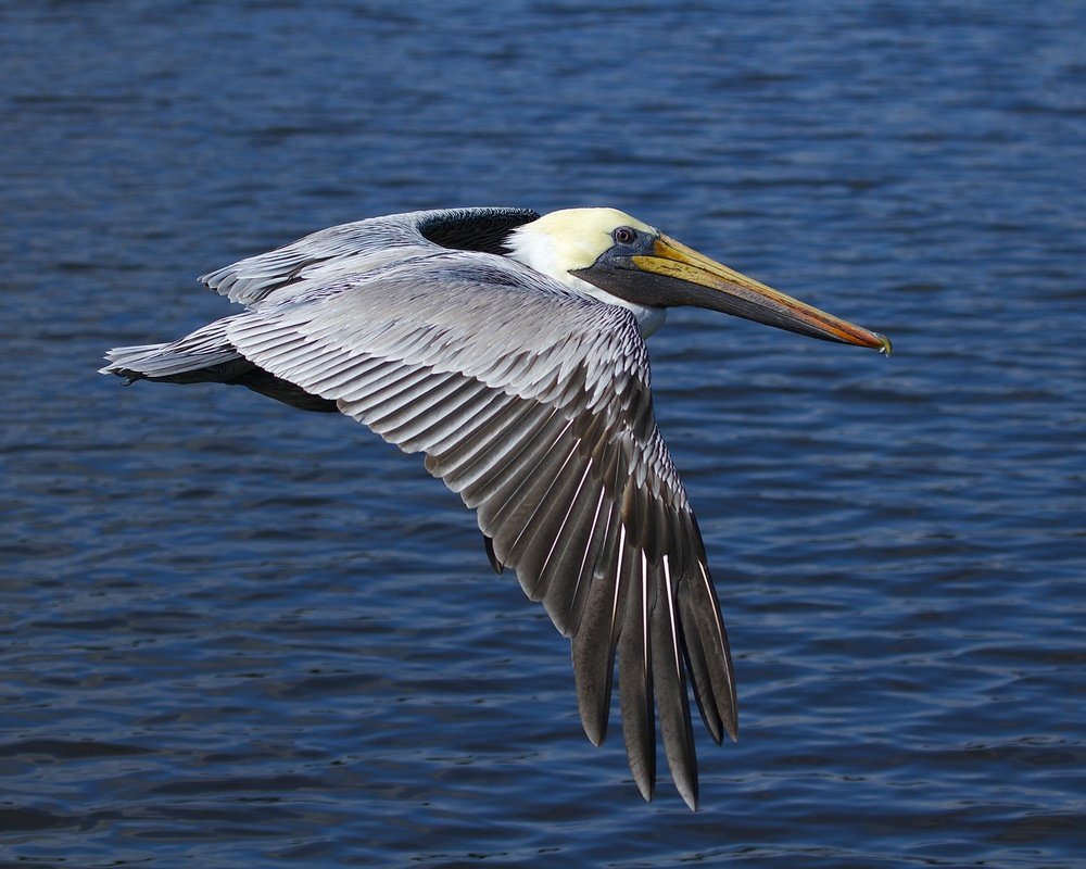 First one Brown Pelican appears gliding by.