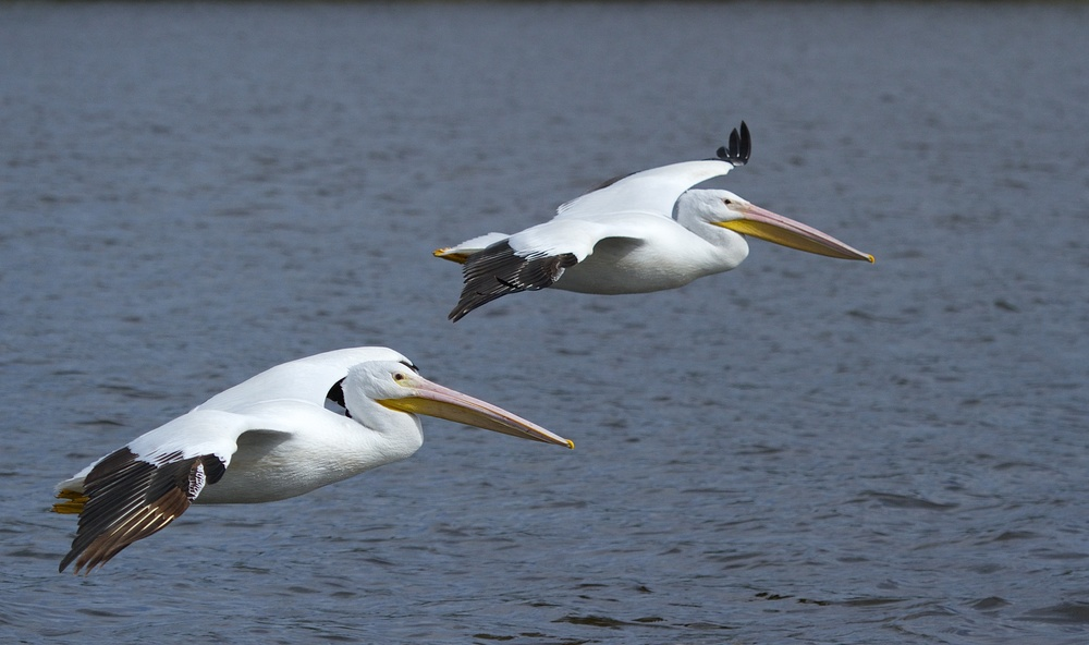 Two White Pelicans join the parade.