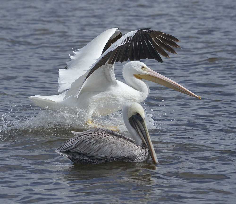 The White Pelican is nearly twice the size of the Brown.