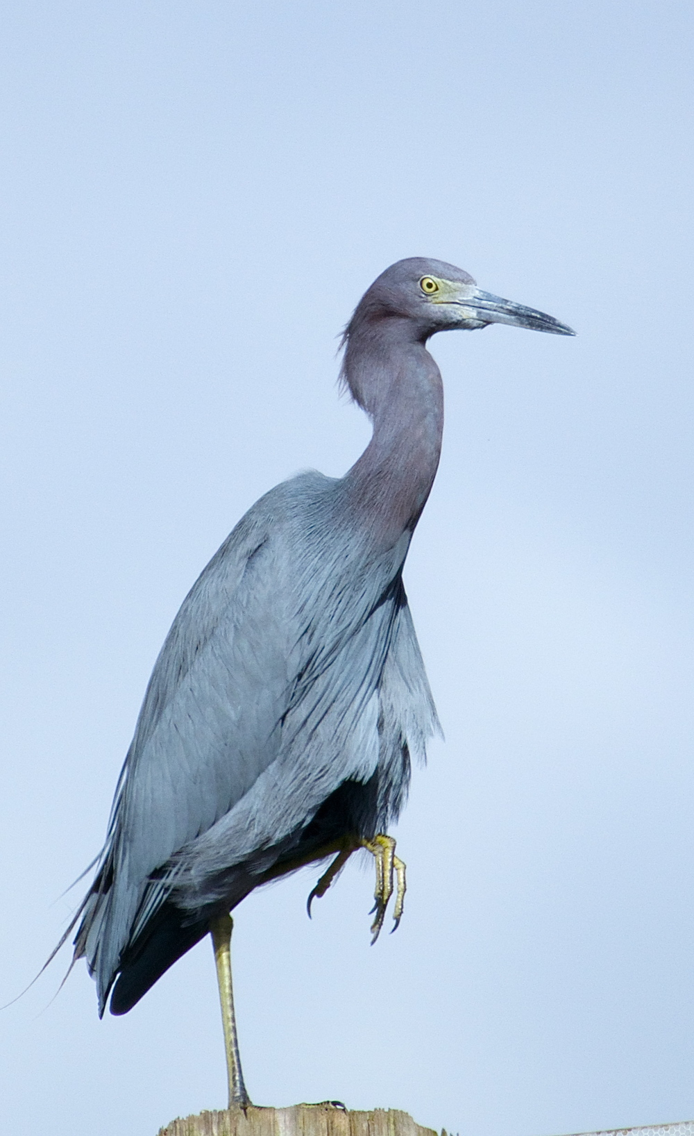 Bye Mr. Tommy, thanks for the ride! Little Blue Heron bids us goodbye.