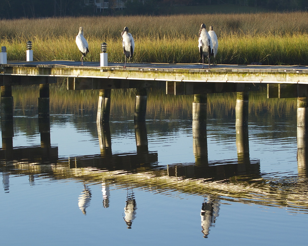 Four wrinkle headed Wood Storks greet the morning light on the neighbor's pier.