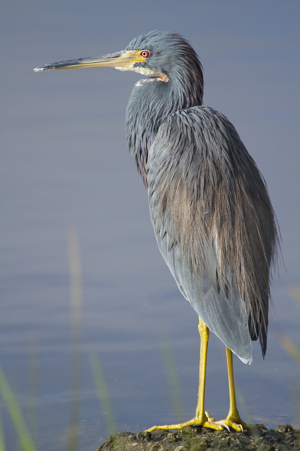 Bout time you got up the Tricolored Heron seems to say.