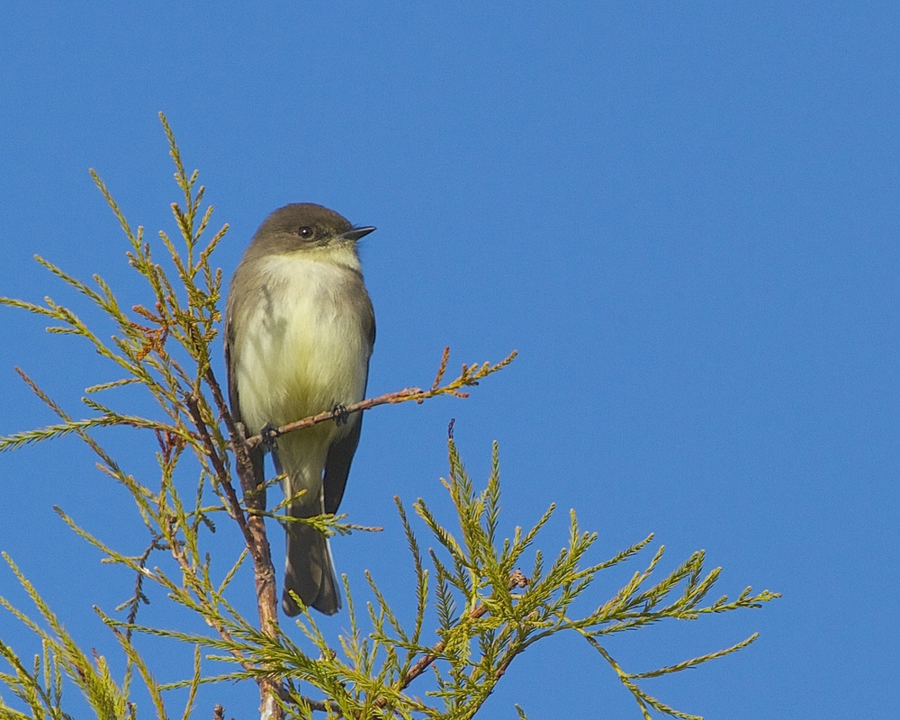 A migrating Eastern Phoebe keeps an eye on me.