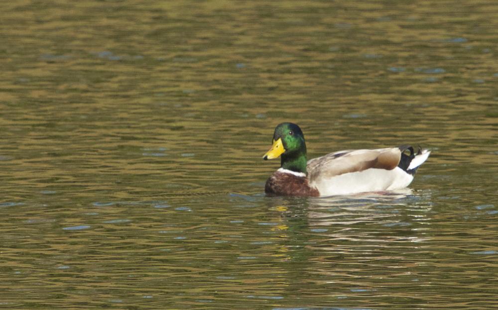 Duck..