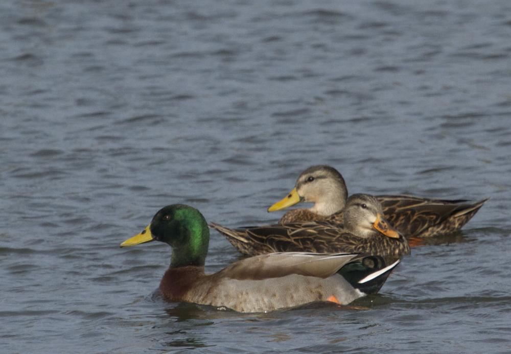 Duck..Duck..