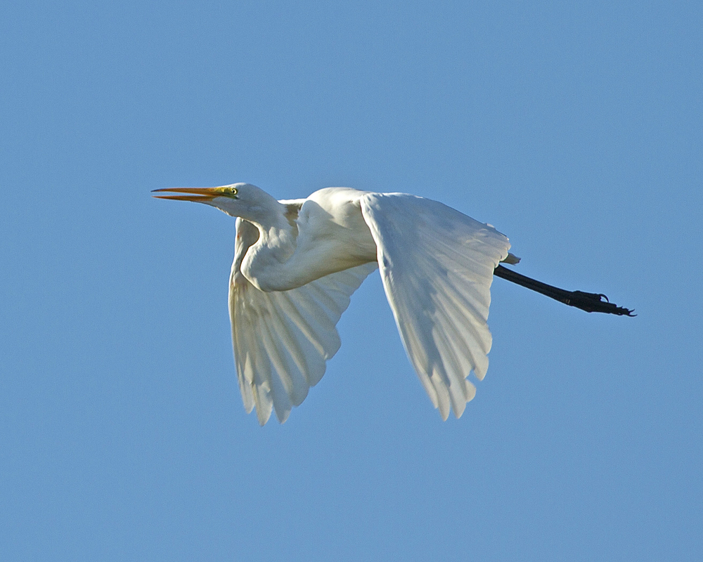 Great White Egret, the Bride of the Broward. Egrets are mainly white and are members of the Heron family.