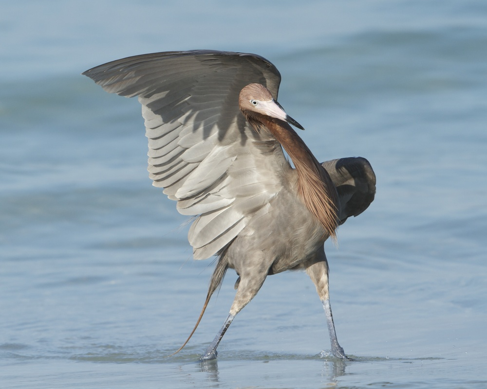 Reddish Egret, loves to dance in the surf. A White morph variant also occurs.