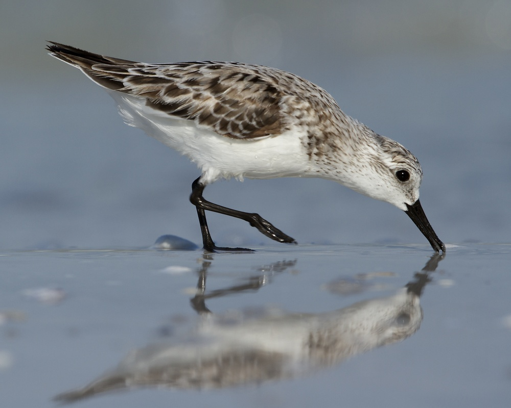 Sanderling, gives a wet kiss.