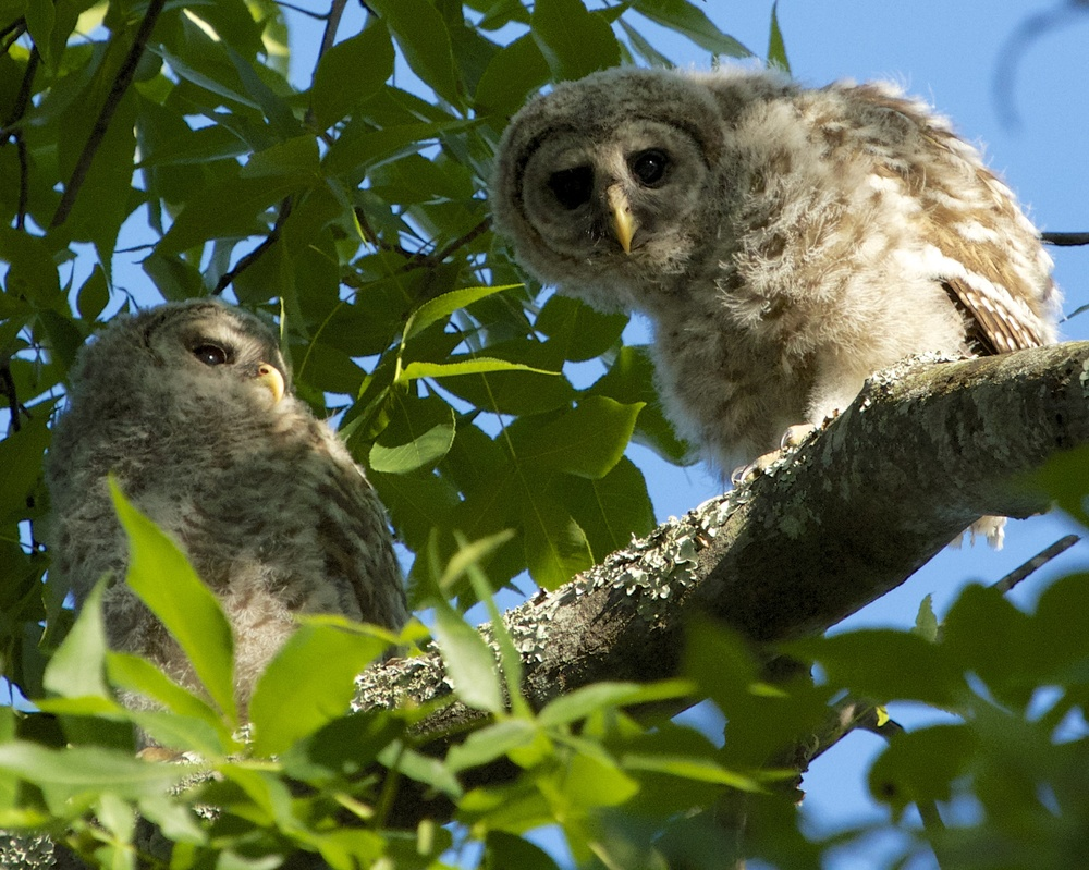 Fuzzy and Wuzzy, Barred owlet fledglings.