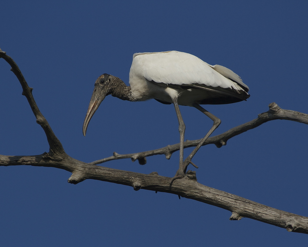 They save the pretty ones for last. Wood Stork on a limb.